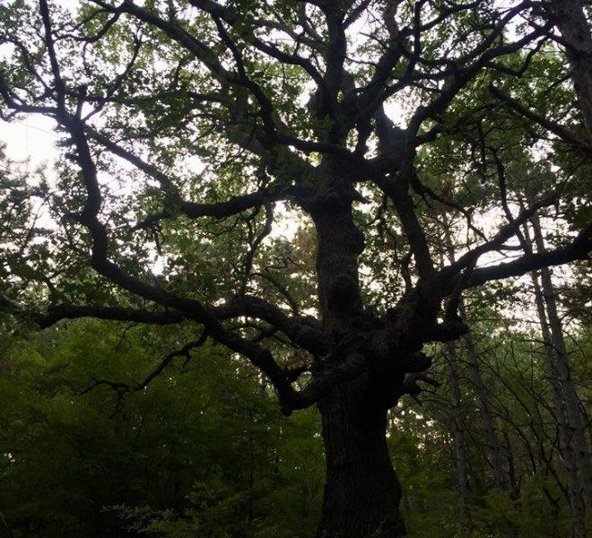 Tree Saint Vlas