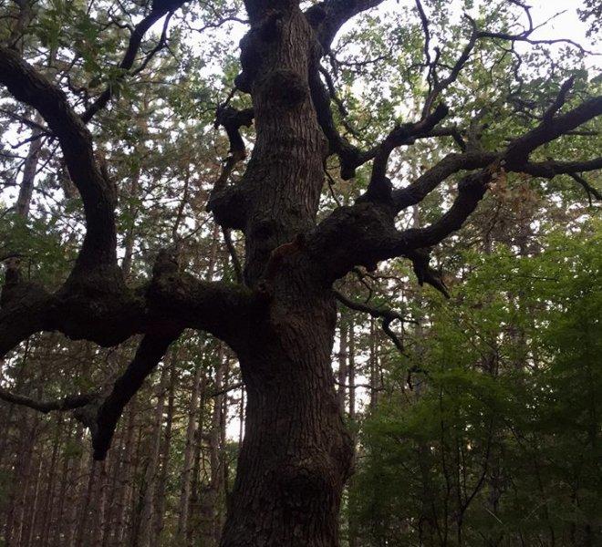 Tree Sveti Vlas
